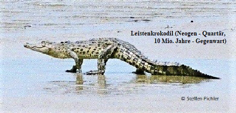 Fotografie eines laufenden Leistenkrokodils - frappierende Ähnlichkeit mit den obigen paläontologischen Zeichnungen.