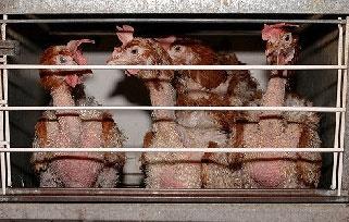Mehrere Hühner, die in einem engen Käfig zusammengedrängt sind. Auf der Haut sind kaum noch Federn.