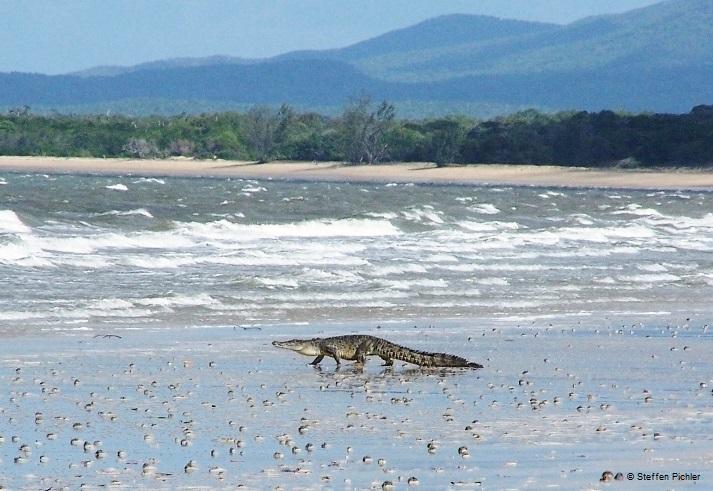Die Evolution der Krokodile: Fotografie eines am Strand in Richtung Ozean laufenden Leistenkrokodils