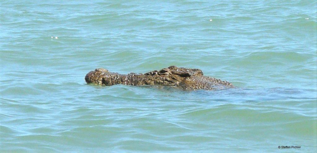 Sehr großes und sichtbar altes Salzwasserkrokodil an der Meeresoberfläche.